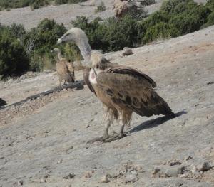 Buitre en el muladar de Santa Cilia